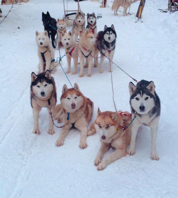 Traîneaux à chiens dans les Laurentides